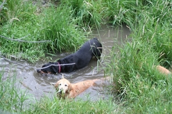 dogs in creek.